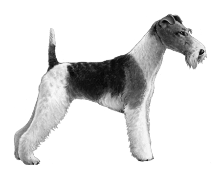 Wire Fox Terrier - B&W