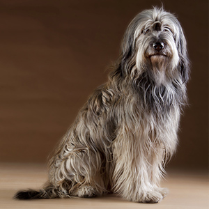 Catalan Sheepdog 1