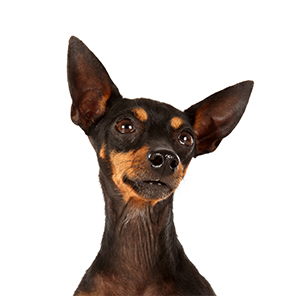 English Toy Terrier 300x300