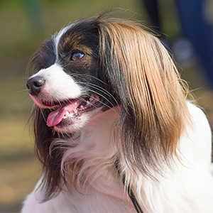 Continental Toy Spaniel 5