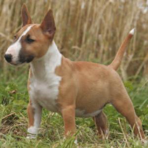 Miniature Bull Terrier Facts - Wisdom Panel™ Dog Breeds
