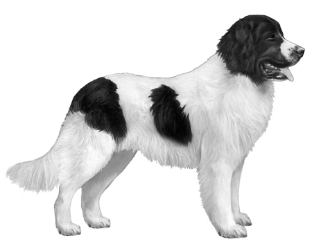 Landseer B&W Small File