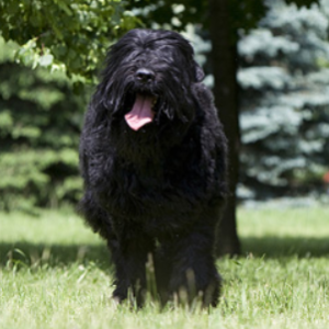 Black Russian Terrier - carousel