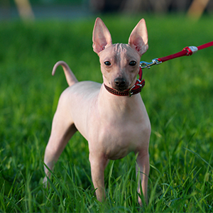 American Hairless Rat Terrier 300x300