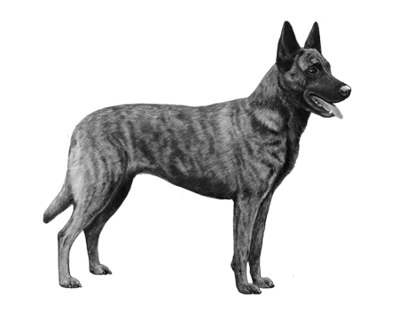 Dutch Shepherd - B&W