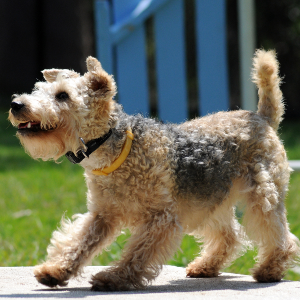 Lakeland Terrier Weight Lakeland Terrier | Wis...