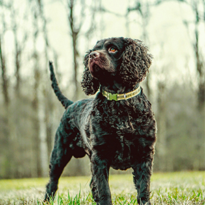 American Water Spaniel 300x300
