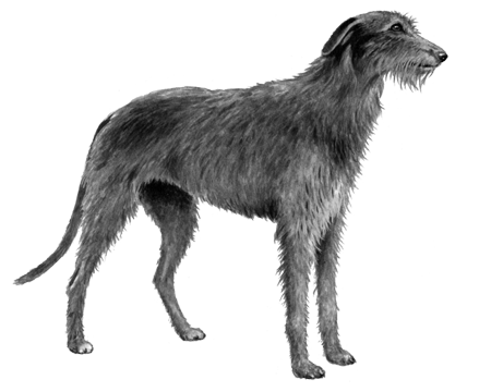 Scottish Deerhound - B&W