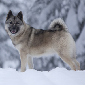 norwegian elkhound wisdom panel
