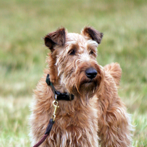 Irish Terrier - carousel