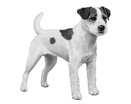 Parson Russell Terrier - B&W
