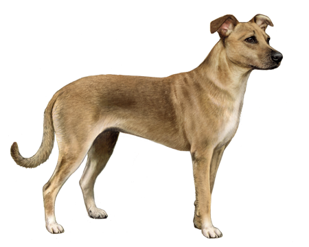Mexican Street Dog Facts Wisdom Panel Dog Breeds
