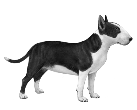 Miniature Bull Terrier - B&W