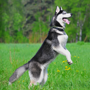 how much are huskies