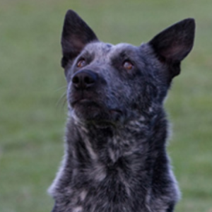 Australian Stumpy Tail Cattle Dog5