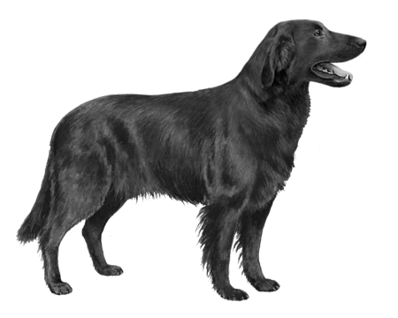 Flat Coated Retriever - B&W