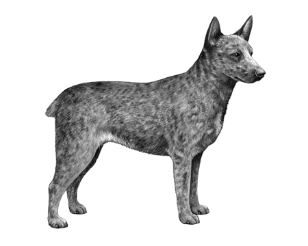 Australian Stumpy Tail Cattle Dog - B&W