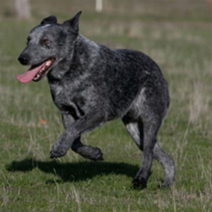 Australian Stumpy Tail Cattle Dog4