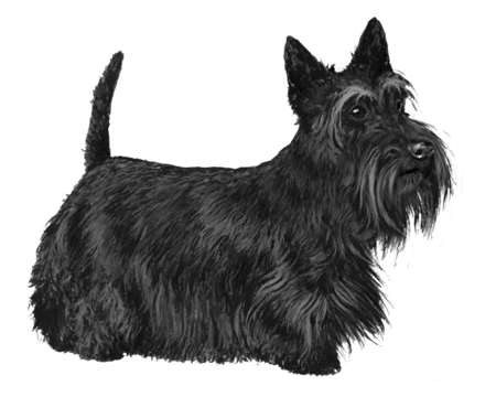 Scottish Terrier - B&W