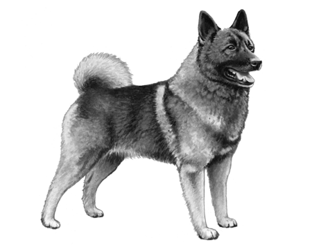 Norwegian Elkhound - B&W