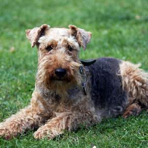 Welsh Terrier - carousel