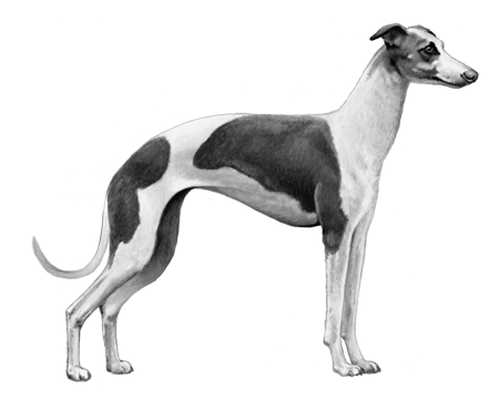 Italian Greyhound - B&W