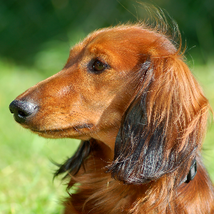 longhaired dachshund wisdom panel