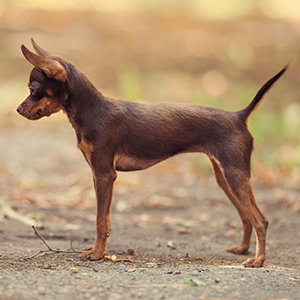Russian Toy Terrier 2