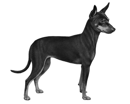 English Toy Terrier (Black & Tan) - B&W