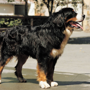 Bernese Mountain Dog - carousel