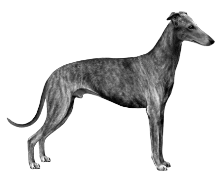 Spanish Greyhound - B&W