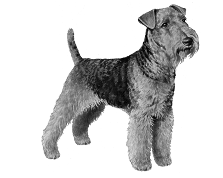 Welsh Terrier - B&W