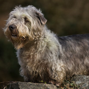 Glen of imaal terrier wisdom panel glen of imaal terrier carousel altavistaventures Images