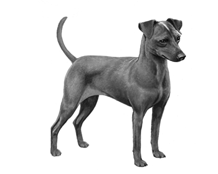 Miniture Pinscher - B&W
