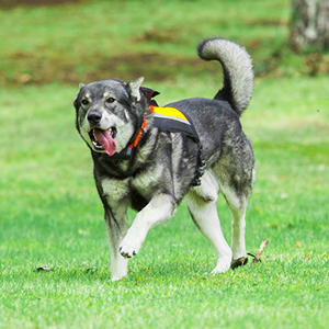 Swedish Elkhound 2