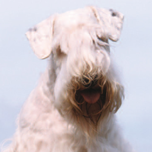 Sealyham Terrier - carousel