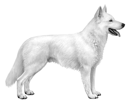 White Swiss Shepherd - B&W