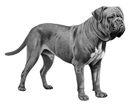 Dogue de Bordeaux - B&W