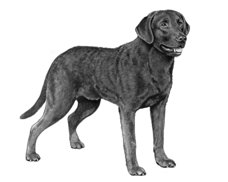 Chesapeake Bay Retriever - B&W
