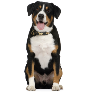 Entlebucher Mountain Dog - carousel