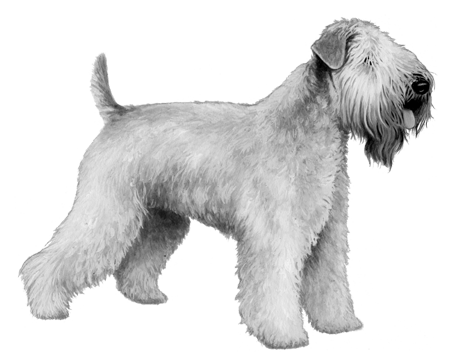 Soft Coated Wheaten Terrier - B&W