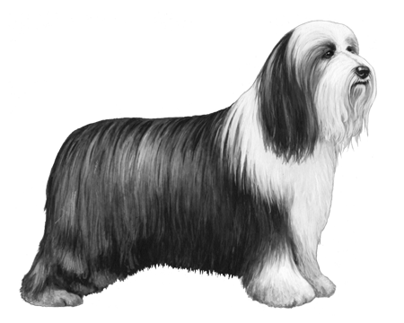 Bearded Collie - B&W