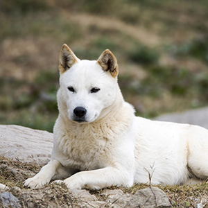 Korean Jindo 300x300