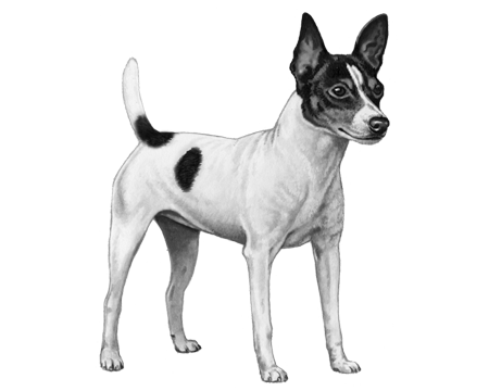 Toy Fox Terrier - B&W