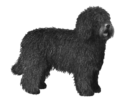 Spanish Water Dog - B&W