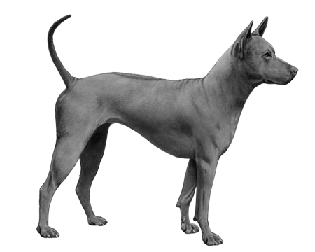 Thai Ridgeback B&W Small File