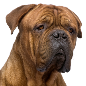 Dogue de Bordeaux - carousel