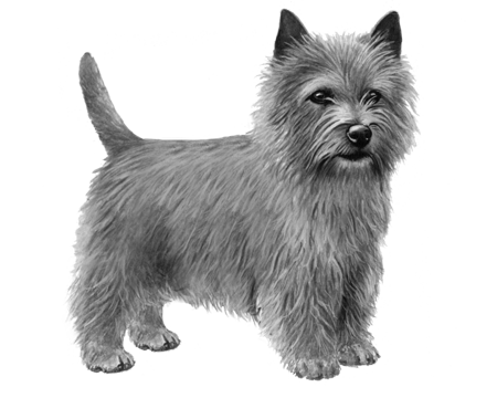 Norwich Terrier - B&W