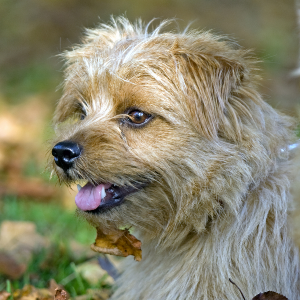 Norfolk Terrier - carousel