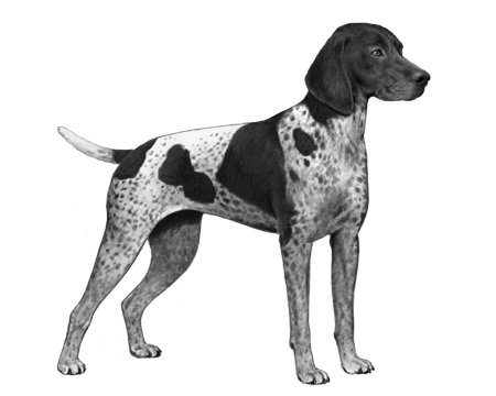 German Shorthair Pointer - B&W
